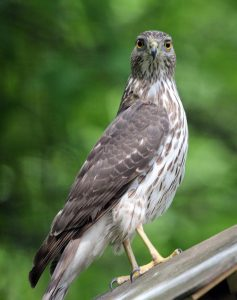 Sharp Shinned Hawk Immature. Photo by Jim Hawthorne